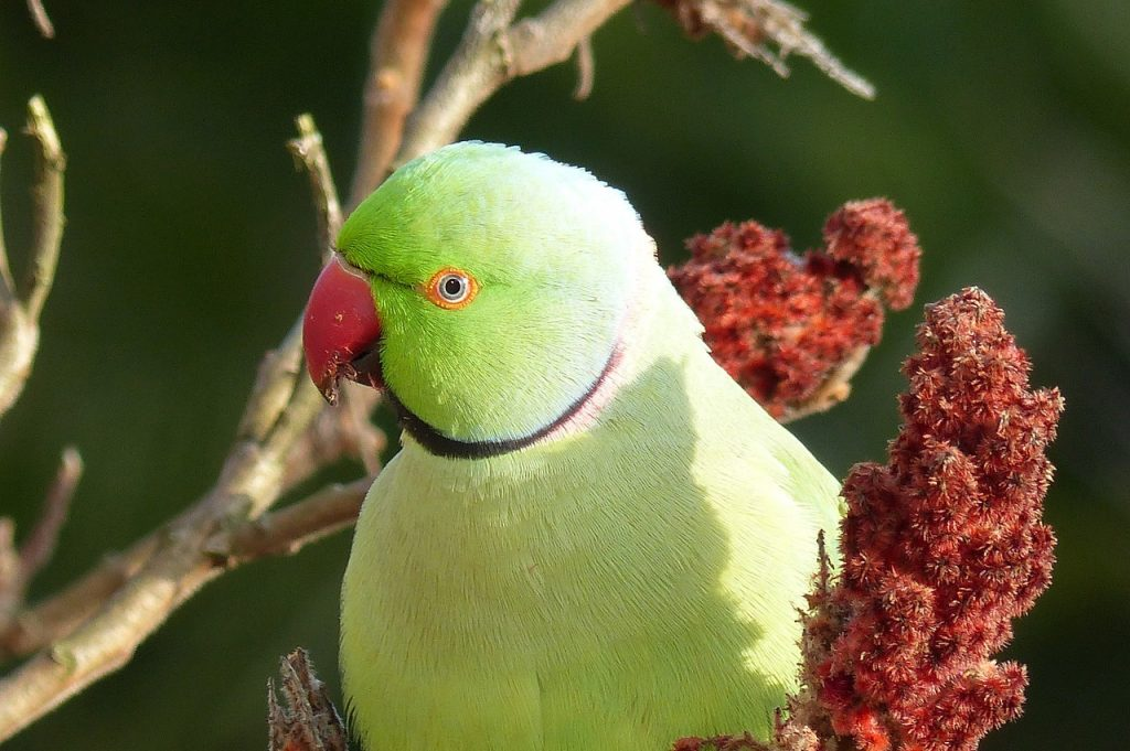 Different-Shades-of-Green-Parakeet
