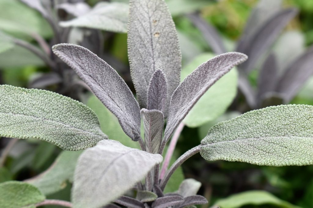 Different-Shades-of-Green-Sage