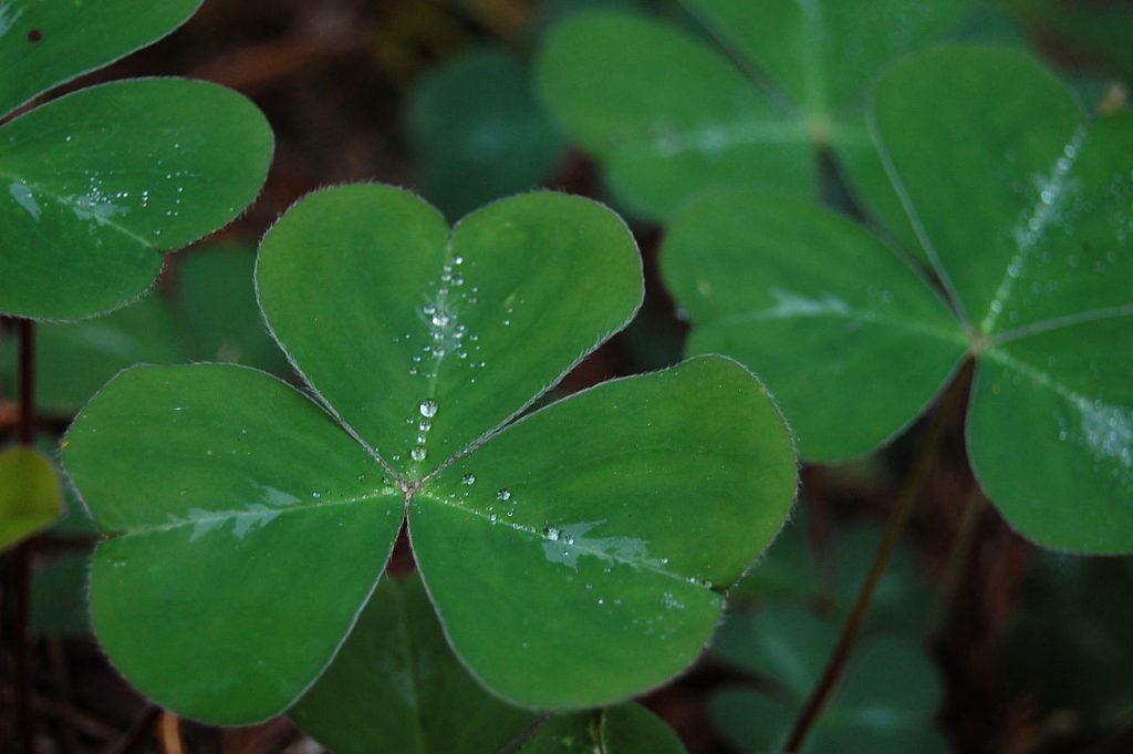 Different-Shades-of-Green-Shamrock